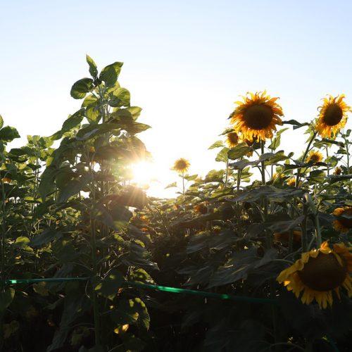 Eckert's Sunflower Maze