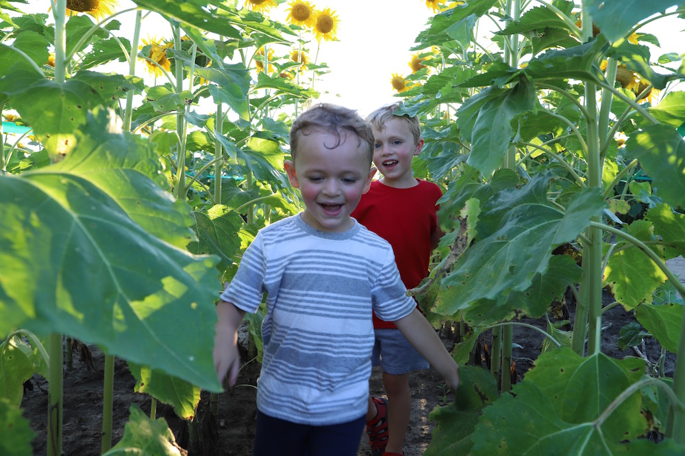 Eckert's Sunflower Maze in Belleville, IL